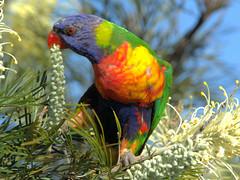 A REAL PARROT MORNING (16th man) Tags: toowoomba westbrook qld queensland australia parrot lorikeet scalybreastedlorikeet rainbowlorikeet grevillea canon eos eos5dmkiii