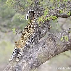 Leopard, Kruger National Park, South Africa (Whitefella Walkabout) Tags: cat veld lowveld gamereserve bigfive nature bush southafrica africa krugernationalpark wildlife leopard instagramapp square squareformat iphoneography