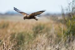 Marsh Harrier (colper) Tags: 150600 birdofprey canon7dmk2 elmleynnr marshharrier tamron