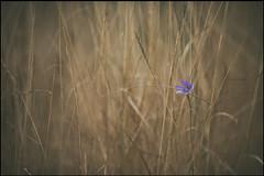 pequeas promesas incumplidas (jotaaguilera) Tags: nikon d610 nikkor 105mmf2ddc dof bokeh luz light flower flor yellow amarillo