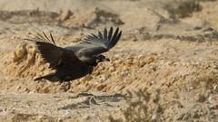 Cinereous Vulture (Tauseef Zafar (Digital Fly)) Tags: cinereousvulture blackvulture vulture birdofprey largebirdsofprey largebirds raptor sindh pakistan birdsofpakistan birdsofprey largeraptor oldvulturefamily wildlifeofpakistan tauseefzafar