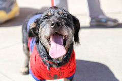 shelton-5907 (angelsrescue) Tags: aau pets angels among us pet rescue alpharetta ga dog love