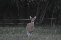 _MG_1900 (thinktank8326) Tags: deer whitetaileddeer fawn doe babyanimal babydeer