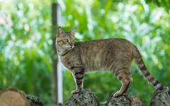 cat (14) (Vlado Ferenčić) Tags: animals cats catsdogs podravina hrvatska croatia nikond600 nikkor8020028 animalplanet