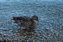 This is too shallow! (davee10101) Tags: 2016 austria bird mallard wolfgangsee