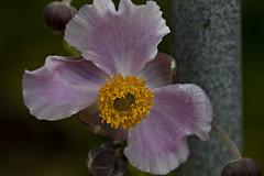 Triad (dleany) Tags: 100mmf28l 5dmkii macro flower lavender