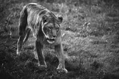 Cabrceno, Cantabria. (Ral Barrero fotografa) Tags: seleccionar leon lion wild