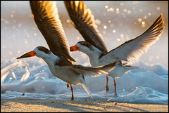 Black Skimmer Duet (Nikographer [Jon]) Tags: blackskimmers capemay newjersey 20161014d500034298 nikon d500 600mmf4 surf atlanticocean spray play sunrise cm nj splash