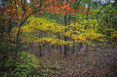 Michigan Autumn (mswan777) Tags: autumn fall color scenic woods forest michigan nature nikon d5100 sigma 1020mm leaf yellow orange hiking trail