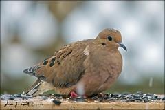 Snowy Dove (Jeannot7) Tags: ontario bird backyard dove mourningdove zenaidamacroura birdwatcher cobourg