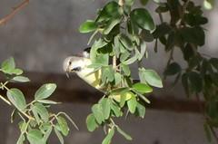 Sun Bird 05 (philjbtorres) Tags: bird yellow photography nikon sunbird yellowbird smallbird yellowbelliedsunbird nikond5100