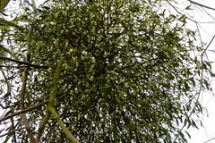 Kiss Kiss! Mistletoe growing (Picture 2 of 2) (Englepip) Tags: christmas kiss bunch mistletoe viscumalbum saveearth