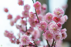 DS7_8598.jpg (d3_plus) Tags: sky plant flower bicycle japan cycling twilight scenery daily rainy bloom  nightshots nightview yokohama  tamron     dailyphoto   kawasaki  thesedays pottering        tamronspaf2875mmf28 2875mmf28 tamronspaf2875mmf28xrdildasphericalif  tamronspaf2875mmf28xrdild d700 tamronspaf2875mmf28xrdildasphericalifmacro nikond700