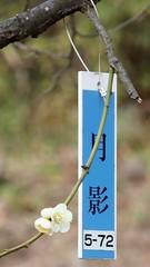 #9348 Tsukikageshidare () (Nemo's great uncle) Tags: flower tokyo flora   ume setagaya  prunus  hanegipark japaneseapricot  setagayaku  prunusmume    tsukikageshidare