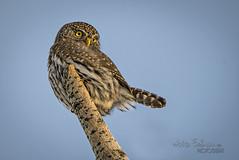 Northern Pygmy Owl (AnitaErdmann) Tags: winter january alberta owl pygmy pygmyowl 2015 fishcreekpark anitaerdmann anitaerdmann2015