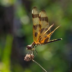 Halloween Pennant (Celothemis eponina) . (od0man) Tags: usa macro insect florida dragonfly theeverglades odonata libellulidae anisoptera halloweenpennant celothemiseponina