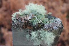 A whole community (Cefn Ila) Tags: lichen elanvalley