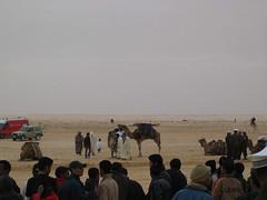 Camels Preparing for Sahara Desert Festival