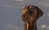 Brauner Dobermann | Brown Dobeman Pinscher (j_vogt) Tags: portrait dog pet brown animal bayern deutschland eyes hund braun augen haustier pinscher tier potofgold dobermann neuried dobeman impressedbeauty pointyfaceddog braunerdobermann browndobeman