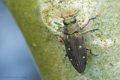 Jewel beetle, Buprestidae (Anthony Kei C) Tags: buprestidae jewelbeetle metallicwoodboringbeetle my14
