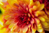 Orange (scuthography) Tags: orange flower macro beautiful photo foto dof blossom ngc blossoming aster flickrglobal kathrinschild