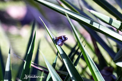 Trying to Hide (haidarism (Ahmed Alhaidari)) Tags: camera green nature grass butterfly escape
