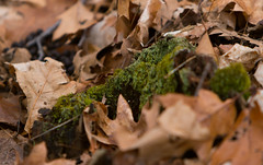 Mossy Rotten Stump (ArtofScholle) Tags: old tree leaves forest canon dead moss woods bright walk south indiana hike east adventure stump f28 febuary dearborn 70200mm in 2015 70d