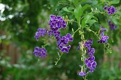 (tomikotchi) Tags: plant purple geishagirl