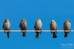 Female Red-Winged Blackbirds entertain on a wire
