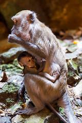 Along for the Ride (Jason Pineau) Tags: baby animal animals monkey malaysia monkeys kuala lumpur