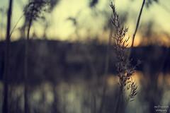 easy (Axel Ku.) Tags: winter sunset 35mm river germany bayern deutschland bavaria raw main gras ufer franken f20 frankonia primelens flus canonef35mmf20 winterdays canoneos5dmarkiii