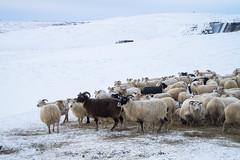 DSC01491 (ekremenak) Tags: photo iceland sheep 1502 150212