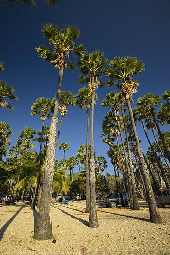 Exotic Palm trees at Lasiana Beach