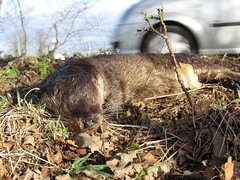 otter Lutra lutra road kill (BSCG (Badenoch and Strathspey Conservation Group)) Tags: nsc lutra mustelidae rta