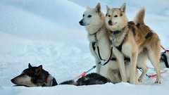Huskies waiting (FredM.) Tags: winter snow ice finland nikon husky hiver lapland neige glace finlande d90 laponie