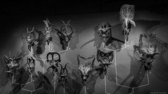 Horned Dinosaur Exhibit - Utah (petechar) Tags: monochrome utah dinosaur evolution saltlakecity universityofutah ceratopsian phylogeny horneddinosaur naturalhistorymuseumofutah charlesrpeterson petechar sonyrx100m3
