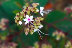 Flower (Rubel Miah) Tags: flower niceflower