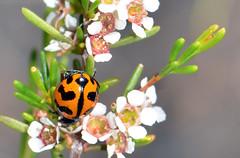 Beetle (jeans_Photos) Tags: nature coleoptera western reserve bullsbrook australia bullsbrooknrjean bullsbrook