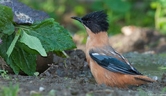 Heterophasia capistrata (Rahul Sharma- Nature and wildlife photography) Tags: wild color bird nature birds wildlife indian watching 1d himalayan markiv binsar binser