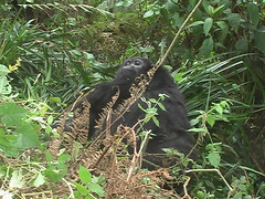 Gorrila in the Ugandan Forest