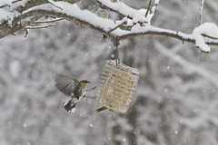 Yellow Rumped Warbler in Flight (brucetopher) Tags: winter snow storm cold bird birds landscape snowflakes wind capecod massachusetts snowstorm 7d snowing brewster snowfall blizzard frigid snowscape winterlandscape winterscene marchblizzard canon7d massachusettsbirds newenglandbirds capecodbirds brucetopher coldwinterlandscape march5blizzardof2015
