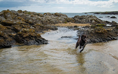 (Rob Hurson) Tags: ireland skerries dublin codublin seaside coast summer leinster pentaxk30 pentax beach rocks sand chocolatelabrador labrador puppy holly dog pentaxda1650mmf28 running water