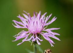 Thistle Blossom (Seth J Dewey Photo) Tags: newhampshire nashua flickrphotowalk