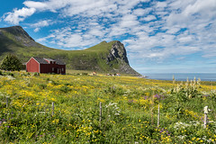 Myrland (Maria-H) Tags: sea mountains norway no panasonic wildflowers lofotenislands 1235 nordland gh4 myrland dmcgh4