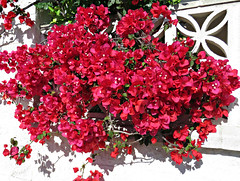 Red Bougainvillea! ('cosmicgirl1960' NEW CANON CAMERA) Tags: travel flowers green nature gardens spain holidays parks bougainvillea espana costadelsol andalusia marbella yabbadabbadoo worldflowers