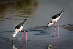 Two black-winged stilts (malc1702) Tags: blackwingedstilt birds water animals longlegs wildlife nikond7100 tamron150600 outdoor migratorybirds fantasticnature ngc