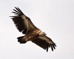 Vulture (JoshyWindsor) Tags: travel family summer holiday france animal europe wildlife south vulture provence birdofprey gorgesduverdon canoneos6d canonef70300mmf456l