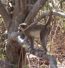 Gambia 8 (megegj)) Tags: animal monkey aap gert