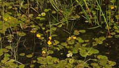 Colsrakmoor - Froschbiss  (Hydrocharis morsus-ranae) und Verkannter Wasserschlauch (Utricularia australis); Meggerdorf, Stapelholm (19) (Chironius) Tags: meggerdorf stapelholm schleswigholstein deutschland germany allemagne alemania germania    ogie pomie szlezwigholsztyn niemcy pomienie moor sumpf marsh peat bog sump bottoms swamp pantano turbera marais tourbire marcageuse blte blossom flower fleur flor fiore blten    asterids lamiids lamiales lippenbltlerartige gelb alismatales froschlffelartige alismataceae froschlffelgewchse hydrocharis weis