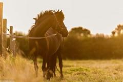 Das Leben auf dem Ponyhof (Lichtbildidealisten.) Tags: horse pony animal sunset